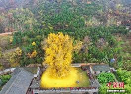 of china tree 1400 year ginkgo tree becomes tourist hit in china china org cn