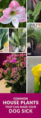 common house plants that are toxic to dogs garden experiments