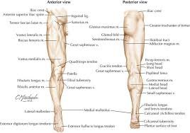 Foot Surface Anatomy Human Anatomy Lower Limb Periodic Tables