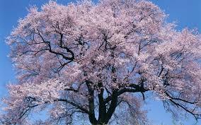 japan big cherry blossom tree desktop background hd 2560x1600