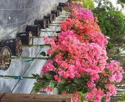 bougainvillea nurseries thenurseries