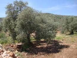 about me the olive tree u2013 mondoweiss