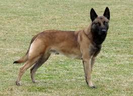 belgian sheepdog traits belgian shepherd malinois breed guide learn about the belgian
