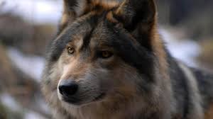 nature captive animals wolves funny animal pictures national
