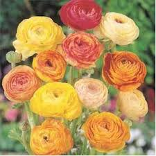 Gardening Zones Texas - ranunculus if you u0027re lucky enough to be living in zones 8 to 11