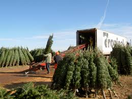wholesale christmas trees oregon christmas lights decoration