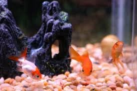 Best Substrate For Aquascaping What U0027s The Best Substrate For Goldfish The Fish Tank Place