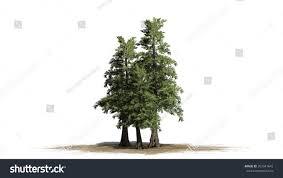 western cedar tree cluster isolated stock illustration 267941642