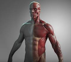 Human Anatomy Male Artstation Anatomy Male Tool Reference For Artists Pascal