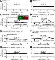 an ultra short dopamine pathway regulates basal ganglia output