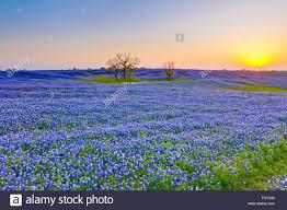 Bluebonnet Flowers - vast field of bluebonnet flowers texas state flower along the