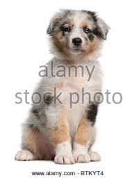 australian shepherd puppies 7 weeks australian shepherd puppy 7 weeks in cage kennel stock photo