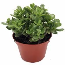 25 Easy Houseplants Easy To by Rare Zz Plant Zamioculcas Zamiifolia Easy To Grow House Plant