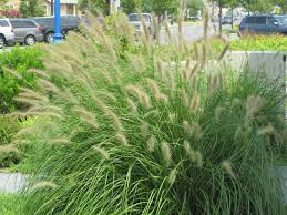 grass landscaping ornamental decorative grass