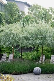 almbacken snygg kombo lavendel och silverpä trädgården