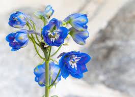 delphinium flowers delphinium flowers the gsp