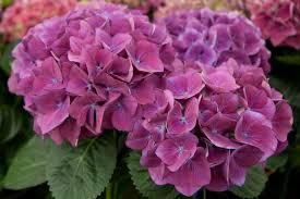 hydrangea hana bay flowers plant care information