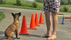 belgian shepherd ears stand up malinois puppy training 12 weeks youtube