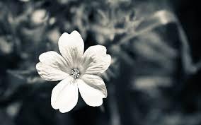 white flower white flower 1900 x 1200 macro photography miriadna