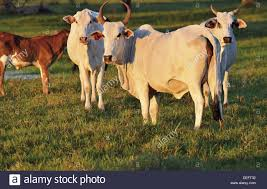 brazil mato grosso pantanal nelore cows cattle travel live
