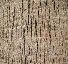 file a up of a palm tree trunk texture jpg wikimedia