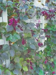 Trellis With Vines 70 Best Trellis Climbing Vines Images On Pinterest Climbing