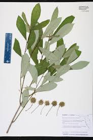 Canopy Synonyms by Nyssa Ogeche Species Page Isb Atlas Of Florida Plants