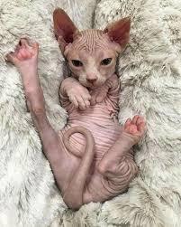 Hairless Cat Meme - look at ma foot look at it sphynx kitty animais pinterest