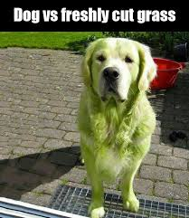 Grass Memes - vs freshly cut grass dog meme