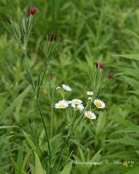 native illinois plants daisy fleabane