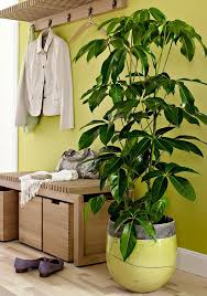 19 best houseplants you can grow without care umbrella tree