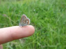 in search of the durham brown argus a day in the of a ranger