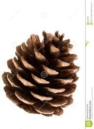 Pinecone Pine Cone Stock Photography Image 1666852