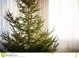 closeup of a bare christmas spruce tree at home without