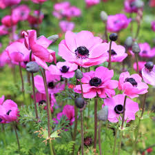 anemone plant anemone rosea bulbs pink anemone with black center easy to