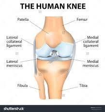 Knee Bony Anatomy Human Knee Cliparts Free Download Clip Art Free Clip Art On