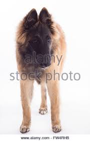 belgian sheepdog tervuren tervuren belgian shepherd dog puppy stock photo royalty free