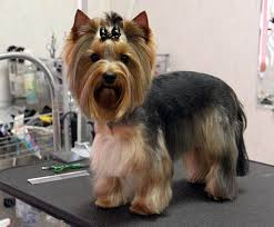 yorkie haircuts pictures only here are some images that you can get idea about yorkie hairstyles