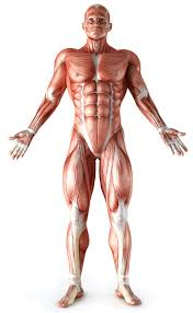 Human Body Muscles Images Muscle Anatomy Index