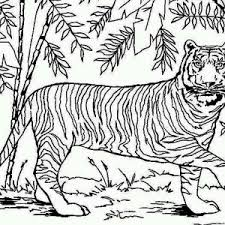 coloring pages of tigers two siberian tigers on its snowy habitat coloring page two