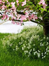 pink dogwood tree blooms at the height of springtime u2014 stock photo