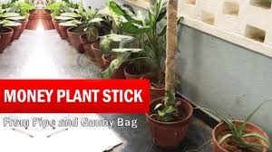 how to make money plant climber stick money plant stick grow