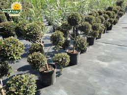 Outdoor Topiary Trees Wholesale - topiary morning dew tropical plants