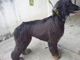 afghan hound grooming styles lẽ toro grooming studio afghan hound grooming