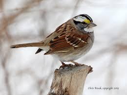 Sparrow by The Splendid White Throated Sparrow Birds Of New England Com