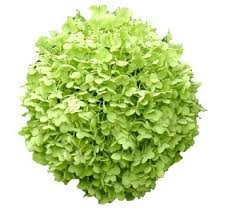 bulk hydrangeas box of green hydrangea box of green hydrangea view size