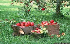 apple tree bloom wallpapers apples tag wallpapers page 2 harvest time apples grass baskets
