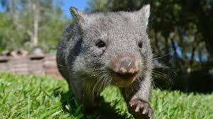 imagenes animales australia australian animals the wombat tourism australia