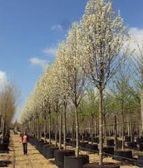 cleveland select pear tree pyrus calleryana cleveland select