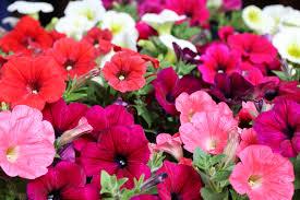 les fleurs annuelles à semer sans modération